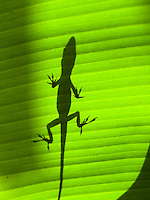 The shadow of an Anole lizard on the broad leaf of a banana tree, Big Island.