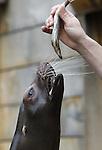 Foto: VidiPhoto<br /> <br /> RHENEN - De zeeleeuwen van Ouwehands Dierenpark in Rhenen doen woensdag volop mee aan het traditionele haringhappen op aswoensdag, de dag dat voor veel rooms-katholieken de vastentijd van 40 dagen begint. Ondanks dat zeeleeuwen dol op haring zijn, is hun dagelijkse kost vooral de goedkopere sprot en en makreel. De dieren staan daarom letterlijk te springen als hun deze lekkernij wordt voorgehouden. Het haringhappen is een oud gebruik na het Carnaval in katholieke kringen. Eerst wordt dan het zogenoemde askruisje, dat verwijst naar de sterfelijkheid van de mens, gehaald bij de pastoor. Daarna volgt het harinhappen. Vroeger mocht tijdens het vasten geen vlees, maar wel vis worden gegeten. Vlees was destijds veel duurder dan vis. Bovendien zou vis voedingstoffen bevatten die het vasten makkelijker maken. En de keus in vis was vroeger nogal beperkt: haring en makreel. Een andere verklaring is dat haringhappen bedoeld is om de katers van het Carnaval weg te werken.