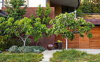 Small trees by entry to Coyote House, SITES® residential home with sustainable garden Santa Barbara California, Susan Van Atta design