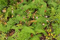 Ferns detail on Two Rod Hiway, Washington, CT