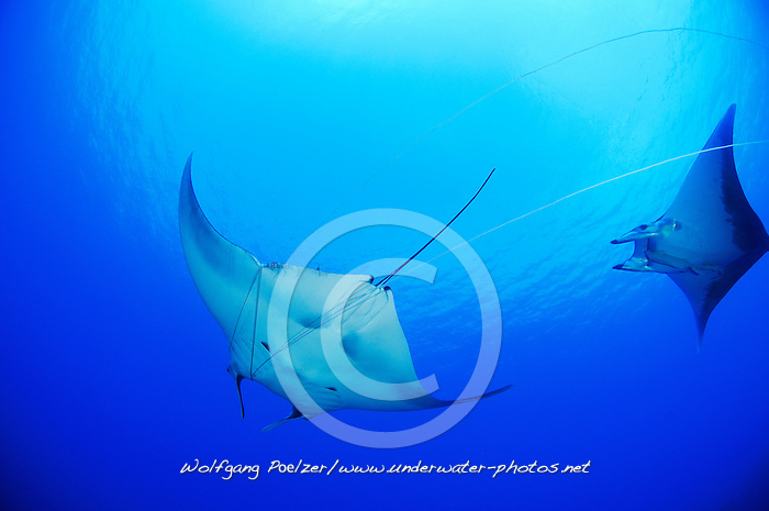 Manta birostris, Mobula mobular, Mantarochen, Manta mit Fischerschnur, Kleiner Teufelsrochen, Mobula mit Schiffshalter, Manta ray, Devil ray with fishing rope and small Devil ray, Devil fish, Azoren, Portugal, Atlantik, Atlantischer Ozean, Azores, Portugal, Atlantic Ocean