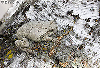 0202-0908  Eastern Gray Treefrog on White Bark (Grey Tree Frog), Hyla versicolor  © David Kuhn/Dwight Kuhn Photography