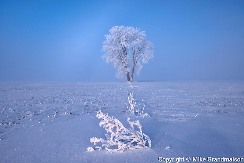 Hoarfrost covered Plains cottonwood tree and remains of canola crop<br />Dugald<br />Manitoba<br />Canada