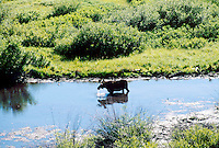 DEER FAMILY (CERVIDAE)<br /> Moose Drinking In River<br /> Grand Tetons