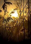 Golden Reeds - Sunrise at Gardiner Park in West Islip