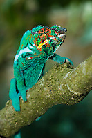 male panther chameleon climbing