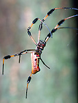 Golden Orb Web Spider-Everglades National Park