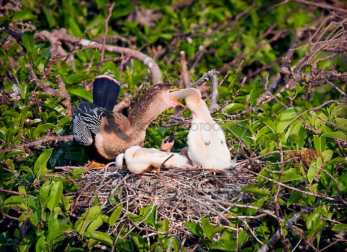 American Anhinga feeding her young in nest