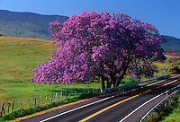 Springtime in Upcountry Maui, with a Jacaranda tree in full bloom.