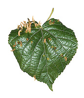 Nail Galls On Lime leaf - caused by the tiny mite Eriophyes tiliae