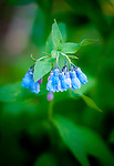 Tall chiming bells are among the many wildflowers that are in abundance in the Collegiate Peaks Wilderness near Buena Vista, Colorado.