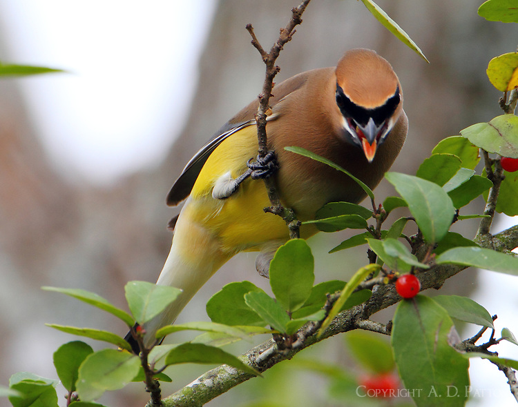 Cedar waxwing eating yaupon berries