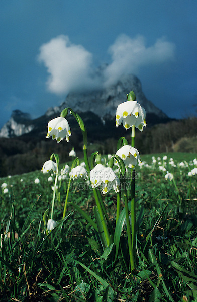 Spring Snowflakes, Leucojum vernum, blooming with Mythen Mountains in background, Schwyz, Switzerland, Europe
