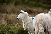 Cheviot ewe near Lancaster, Lancashire.