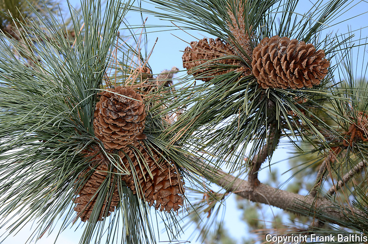 Pine cones in Hayward