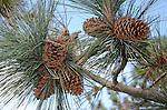 Pine cones in Hayward
