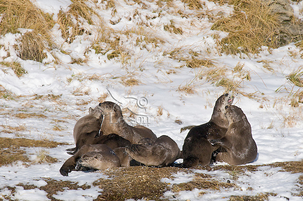 Northern River Otter (Lontra canadensis) playful tussle along river bank.  Winter.