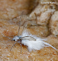0902-0802  Wooly Aphid, Eriosoma spp.  © David Kuhn/Dwight Kuhn Photography.