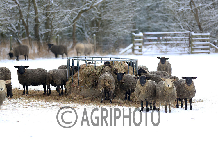Dirty lambs in the snow.Picture Tim Scrivener date taken 19th January  2012.mobile 07850 303986 e-mail tim@agriphoto.com.....covering agriculture in the Uk....