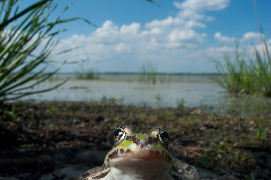 Edible frog (Rana esculenta) Danube delta, Moldova.