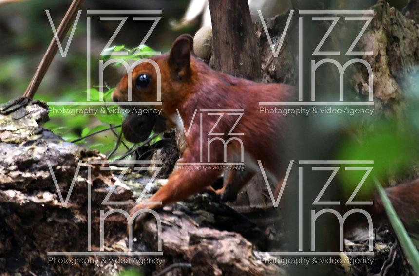 CALI - COLOMBIA - 20 - 06 - 2017: Ardilla Roja (Sciurus Vulgaris), especie de roedor común en el Parque de las Garzas en la ciudad de Cali, (Pance), en el Valle del Cauca, Colombia. / Ardilla Roja (Sciurus Vulgaris), a common rodent species in the Parque de las Garzas in Cali city, (Pance), in the Valle del Cauca, Colombia. / Photo: VizzorImage / Luis Ramirez / Staff.