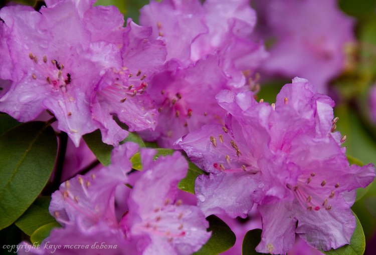 Purple Azalea cluster