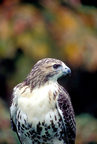 Red tail hawk, Bateo jamaicensis, in profile fall, New England