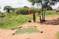 N. Uganda, Kitgum District. Women sorting grain.