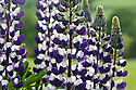 Purple-and-white lupin 'The Governor', end May.