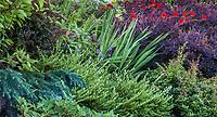 Tsuga mertensiana 'Elizabeth'  Dwarf Mountain Hemlock (left) with Boxleaf Honeysuckle Lonicera pileata, Crocosmia 'Lucifer' and Barberry, foliage tapestry mixed shrub border - Seattle Washington, Stacie Crooks design
