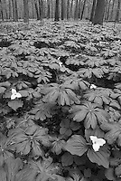 Large-flowered or White Trillliums (Trillium grandiflorum) grow in profusion on the hardwood forest floors of Ryerson Nature Conservancy in Lake County, Illinois