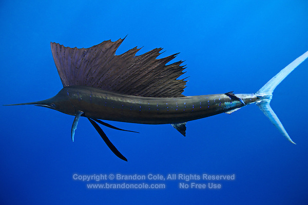 qh1032-D. Atlantic Sailfish (Istiophorus albicans). Some consider this the same species as the Indo-Pacific Sailfish (I. platypterus). Mexico, Gulf of Mexico..Photo Copyright © Brandon Cole. All rights reserved worldwide.  www.brandoncole.com..This photo is NOT free. It is NOT in the public domain. This photo is a Copyrighted Work, registered with the US Copyright Office. .Rights to reproduction of photograph granted only upon payment in full of agreed upon licensing fee. Any use of this photo prior to such payment is an infringement of copyright and punishable by fines up to  $150,000 USD...Brandon Cole.MARINE PHOTOGRAPHY.http://www.brandoncole.com.email: brandoncole@msn.com.4917 N. Boeing Rd..Spokane Valley, WA  99206  USA.tel: 509-535-3489