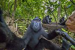 Celebes crested macaque (Macaca nigra), Sulawesi, Indonesia