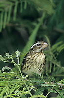 Rose-breasted Grosbeak, Pheucticus ludovicianus, female, South Padre Island, Texas, USA