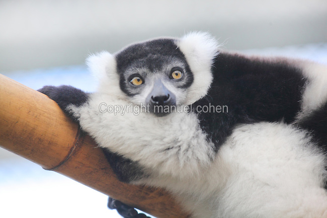 Parc Zoologique de Paris<br /> Lemur vari a ceinture blanche<br /> Varecia variegata subcincta<br /> White-belted Ruffed Lemur new Parc Zoologique de Paris, or Zoo de Vincennes, (Zoological Gardens of Paris, also known as Vincennes Zoo), Museum National d'Histoire Naturelle (National Museum of Natural History), 12th arrondissement, Paris, France. Picture by Manuel Cohen
