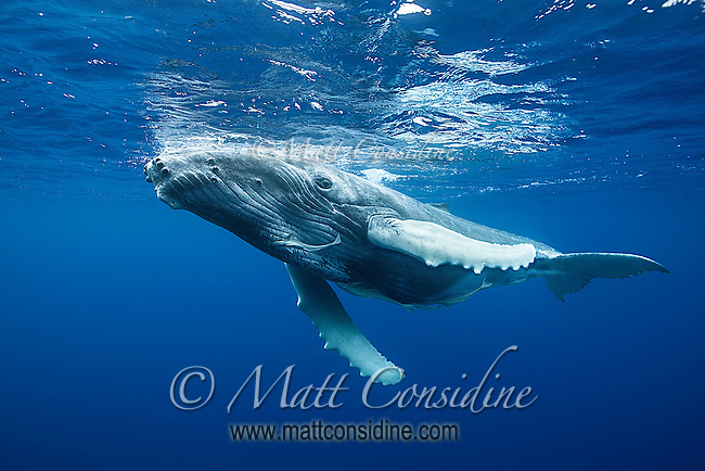Curious young humpback whale looking down from above., (Photo by Underwater Photographer Matt Considine)