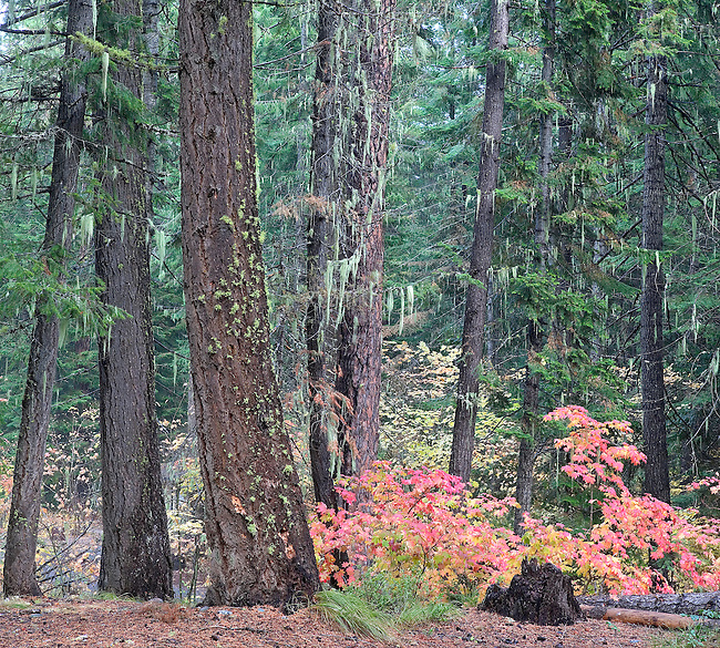 Colorful Autmn Maple Trees in Ponderosa Pine Forest, Lake Wenatchee, Washington State