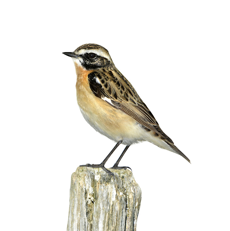 Whinchat Saxicola rubetra - Male. L 12-14cm. Colourful, Stonechat-like bird with whitish sides to tail base. Sexes are dissimilar. Adult male has brown, streaked upperparts with white stripe above eye. Margins of throat and ear coverts are defined by pale stripe; throat and breast are orange; underparts are otherwise whitish. Adult female is similar but colours and contrast are less intense. 1st winter bird is similar to adult female but upperparts are more spotted. Voice Utters a whistling tic-tic alarm call. Song is rapid and warbling. Status Local summer visitor, favouring rough grassy slopes with scattered scrub.