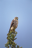 559312022 wild female merlin falco columbarius perched in a tall fir tree near whitefish lake in the northwest territories of canada