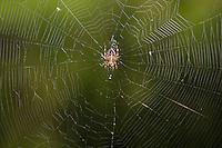 Garten-Kreuzspinne, Gartenkreuzspinne, Gemeine Kreuzspinne lauert in ihrem Netz, Radnetz, Araneus diadematus, cross orbweaver, European garden spider, cross spider