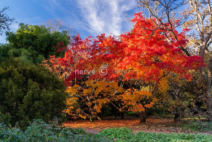 France, Allier (03), Villeneuve-sur-Allier, Arboretum de Balaine en automne, érable du Japon 'Elegans', Acer palmatum 'Elegans'