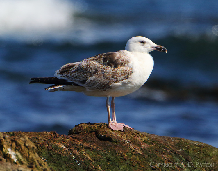 First-cycle great black-backed gull