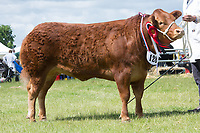 Rutland County Show 2017<br /> Commercial champion Jasmine owned by TA &amp; LC Lyon &amp; Son<br /> Picture Tim Scrivener 07850 303986<br /> &hellip;.covering agriculture in the UK&hellip;.