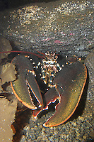 Europäischer Hummer, Homarus gammarus, common lobster, European clawed lobster, Maine lobster