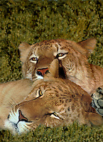 655809022 portrait of a pair of  ligress an artificially produced offspring of a male lion and a female tiger - animal is a wildlife rescue - species is not  found in the wild