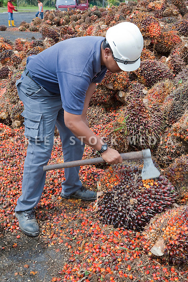 A plantation worker slicing an oil palm fresh fruit bunch (FFB) with an ax. The FFBs are awaiting processing at the mill, the cut showing the fruit's mature yellow contents. The Sindora Palm Oil Mill, owned by Kulim, is green certified by the Roundtable on Sustainable Palm Oil (RSPO) for its environmental, economic, and socially sustainable practices. Johor Bahru, Malaysia