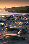 Elephant Seals resting while hauled out on sand beach at sunset, Piedras Blancas, near San Simeon, California