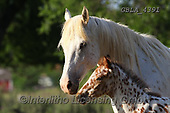 Bob, ANIMALS, REALISTISCHE TIERE, ANIMALES REALISTICOS, horses, photos+++++,GBLA4391,#a#, EVERYDAY