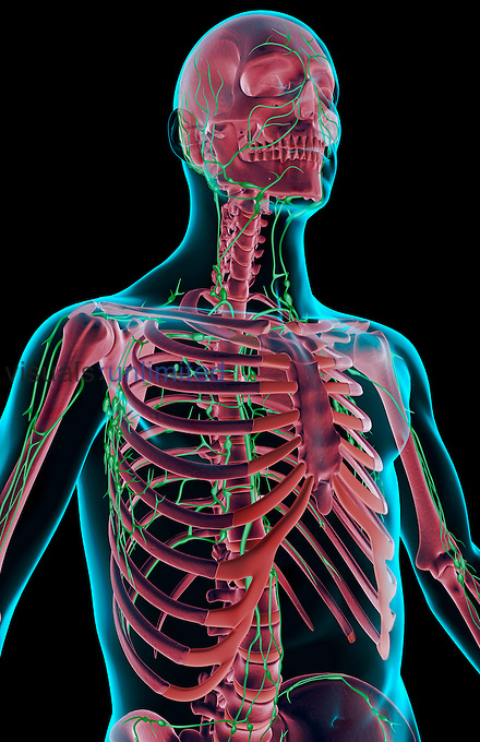 An anterolateral view (right side) of the lymph supply of the upper body. The surface anatomy of the body is semi-transparent and tinted blue. Royalty Free