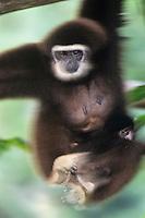 White-handed gibbon or Lar Gibbon (Hylobates lar), S.E. Asia